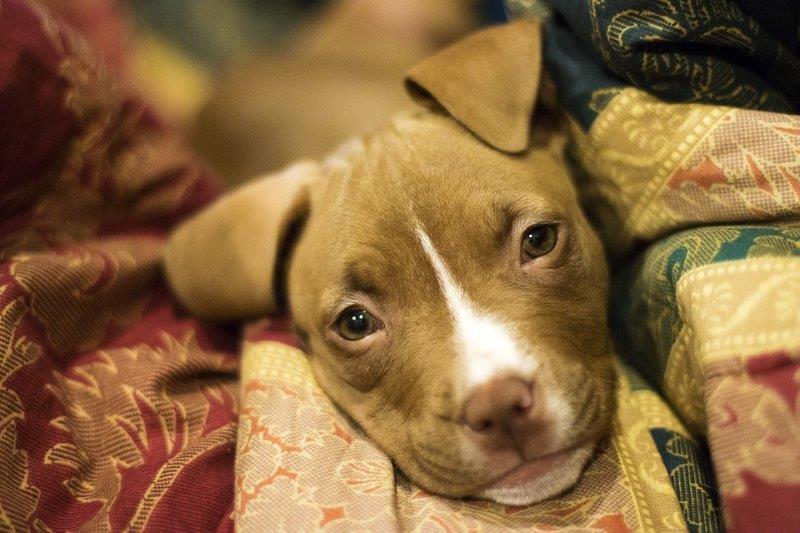 Oververhitting Honden