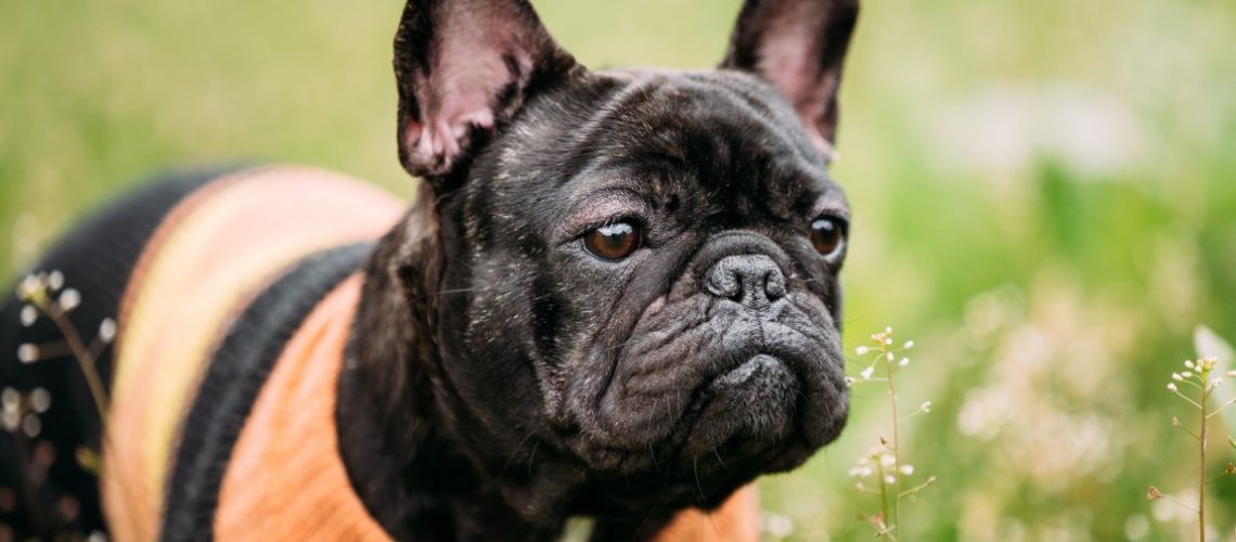 Young Black French Bulldog Dog In Green Grass, In Park Outdoor